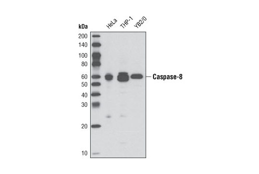 Western blot analysis of extracts from HeLa, THP-1, and YB2/0 cell lines using Caspase-8 (D35G2) Rabbit mAb.