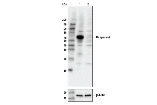 Western blot analysis of HeLa cell extracts, untreated (-) or Caspase-8 knock-out (+), using Caspase-8 (D35G2) Rabbit mAb, #4790 (upper) or β-actin (13E5) Rabbit mAb #4970 (lower).