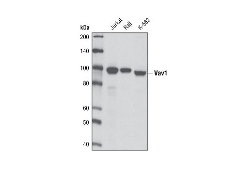 Western blot analysis of extracts from Jurkat, Raji and K-562 cells using Vav1 (D45G3) Rabbit mAb.