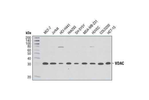 Western blot analysis of extracts from various cell types using VDAC (D73D12) Rabbit mAb.