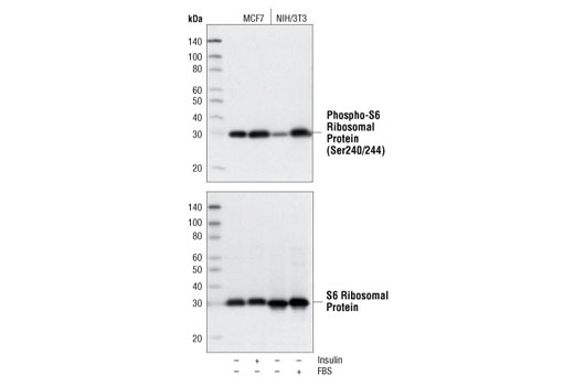 Western blot analysis of extracts from MCF7 and NIH/3T3 cells, treated with 100 nM insulin (10 min) or 20% FBS (30 min) as indicated, using Phospho-S6 Ribosomal Protein (Ser240/244) (D68F8) XP<sup>®</sup> Rabbit mAb (upper) or S6 Ribosomal Protein (5G10) Rabbit mAb #2217 (lower).