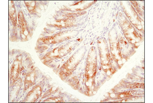 Immunohistochemical analysis of paraffin-embedded mouse colon using Phospho-S6 Ribosomal Protein (Ser240/244) (D68F8) XP<sup>®</sup> Rabbit mAb.