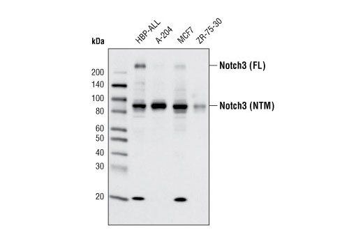 Monoclonal Antibody - Notch3 (D11B8) Rabbit mAb - Immunoprecipitation, Western Blotting, UniProt ID Q9UM47, Entrez ID 4854 #5276 - Primary Antibodies