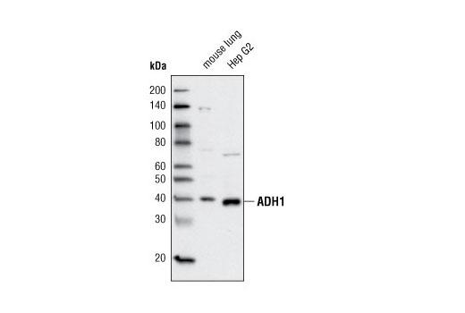 Polyclonal Antibody Western Blotting Zinc-Dependent