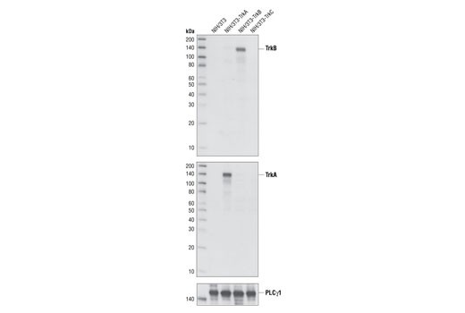 Western blot analysis of extracts from NIH/3T3, NIH/3T3-TrkA, NIH/3T3-TrkB and NIH/3T3-TrkC cells, using TrkB Antibody (upper), TrkA Antibody #2505 (middle) and PLCγ1 Antibody #2822 (lower).