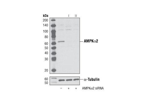 SignalSilence® AMPKα2 siRNA II - Transfection, UniProt ID P54646, Entrez ID 5563 #6630, Glucose / Energy Metabolism