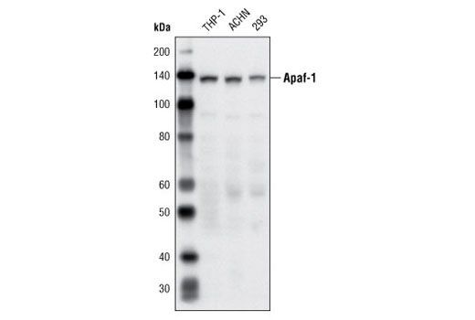 Western blot analysis of extracts from THP-1, ACHN, and 293 cells using Apaf-1 (R205) Antibody.