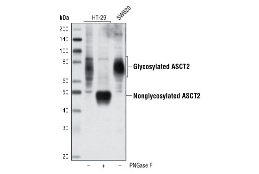 Polyclonal Antibody Western Blotting L-Glutamine Transmembrane Transporter Activity - count 2