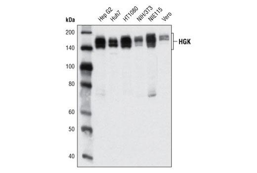 Monoclonal Antibody - HGK (D19H10) Rabbit mAb - Western Blotting, UniProt ID O95819, Entrez ID 9448 #5146 - Map Kinase Signaling