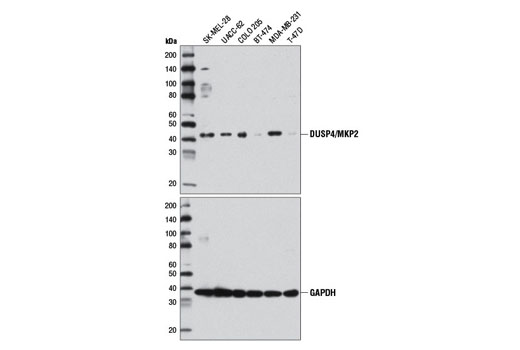 Monoclonal Antibody - DUSP4/MKP2 (D9A5) Rabbit mAb - Western Blotting, UniProt ID Q13115, Entrez ID 1846 #5149 - Primary Antibodies