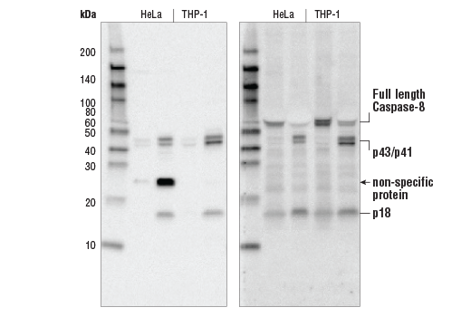 Western Blotting Image 1: Cleaved Caspase-8 (Asp391) (18C8) Rabbit mAb