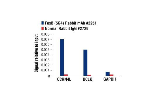Chromatin immunoprecipitations were performed with cross-linked chromatin from PC-12 cells starved overnight and treated with β-NGF #5221 (50 ng/ml) for 2 hr and either FosB (5G4) Rabbit mAb or Normal Rabbit IgG #2729 using SimpleChIP<sup>®</sup> Enzymatic Chromatin IP Kit (Magnetic Beads) #9003. The enriched DNA was quantified by real-time PCR SimpleChIP<sup>®</sup> Rat CCRN4L Promoter Primers #7983, rat DCLK1 promoter primers, and SimpleChIP<sup>®</sup> Rat GAPDH Promoter Primers #7964. The amount of immunoprecipitated DNA in each sample is represented as signal relative to the total amount of input chromatin, which is equivalent to one.