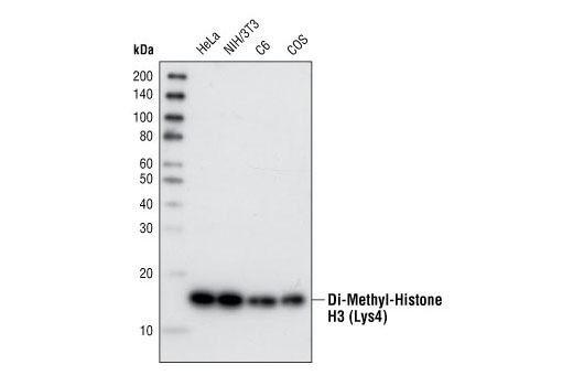 Image 21: Methyl-Histone H3 (Lys4) Antibody Sampler Kit