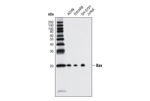 Western blot analysis of extracts from various cell lines using Bax (D2E11) Rabbit mAb. Brimmel et al. demonstated that Jurkat cells lack Bax protein expression (10).