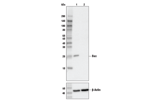 Western blot analysis of HeLa cell extracts, untreated (-) or Bax knock-out (+), using Bax (D2E11) Rabbit mAb #5023 (upper), or β-actin (13E5) Rabbit mAb #4970 (lower).