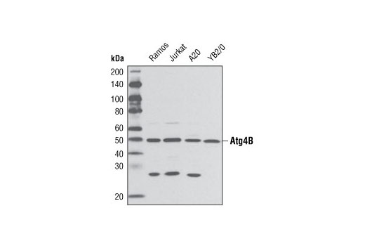 Polyclonal Antibody Regulation of Autophagy