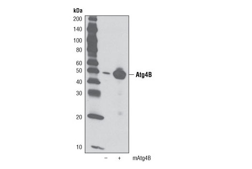 Western blot analysis of extracts from 293T cells, mock transfected (-) or transfected with mouse Atg4B (+), using Atg4B Antibody.