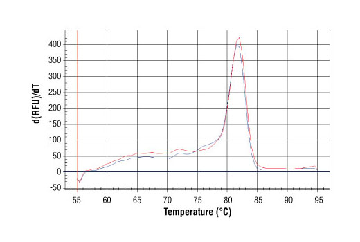 PCR product melting curves were obtained on Real-Time PCR reactions performed using SimpleChIP<sup>®</sup> Human NR4A3 Promoter Primers. Data is shown for both duplicate PCR reactions using 20 ng of total DNA. The melt curve consists of 80 melt cycles, starting at 55°C with increments of 0.5°C per cycle. Each peak is formed from the degradation of a single PCR product.
