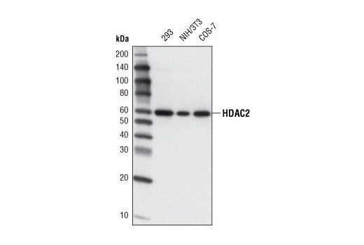 Western blot analysis of extracts from various cell lines using HDAC2 (3F3) Mouse mAb.