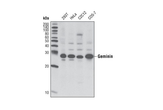 Polyclonal Antibody Immunoprecipitation Negative Regulation of Cell Cycle - count 20