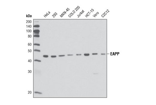 Western blot analysis of extracts from various cell types using EAPP (1E4) Mouse mAb.