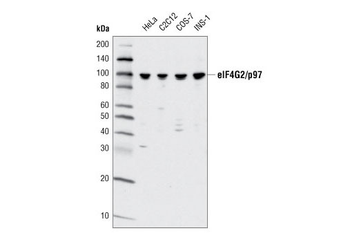 Western blot analysis of extracts from various cell types using eIF4G2/p97 (D88B6) XP<sup>®</sup> Rabbit mAb.