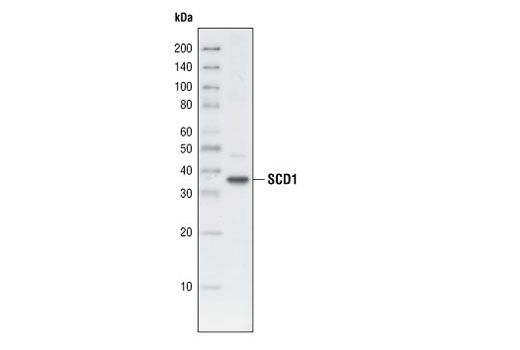 Western blot analysis of 3T3-L1 cell lysates, using SCD1 (R347) Antibody.