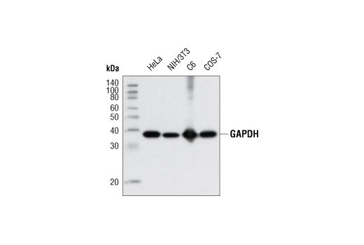 Western blot analysis of extracts from various cell lines using GAPDH (D16H11) XP<sup>®</sup> Rabbit mAb.