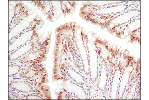 Immunohistochemical analysis of paraffin-embedded mouse colon using GAPDH (D16H11) XP<sup>®</sup> Rabbit mAb.