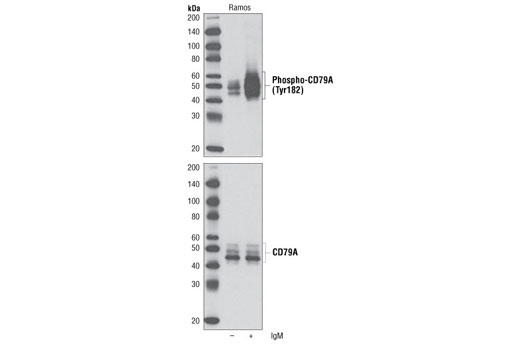 Western blot analysis of extracts from Ramos cells untreated or treated with anti-human IgM (12 µg/ml for 10 minutes), using Phospho-CD79A (Tyr182) Antibody (upper) or CD79A Antibody #3351 (lower).