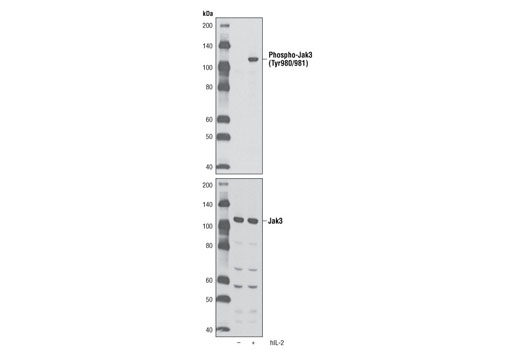 Western blot analysis of extracts from NK-92 cells, untreated or treated with Human Interleukin-2 (hIL-2) #8907 (10 ng/ml, 15 minutes), using Phospho-Jak3 (Tyr980/981) (D44E3) Rabbit mAb (upper) or Jak3 Antibody #3775 (lower).