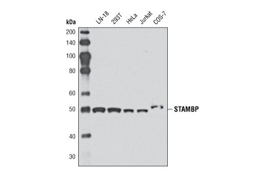 Western blot analysis of extracts from various cell lines using STAMBP Antibody.