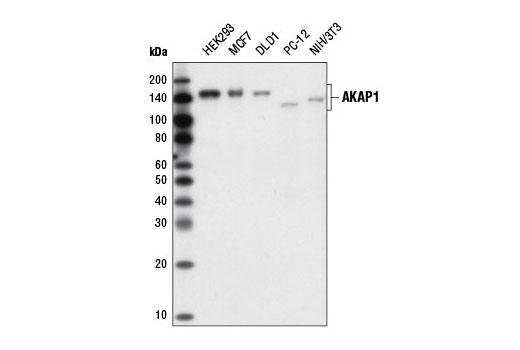 Western blot analysis of extracts from various cell lines using AKAP1 (D9C5) XP<sup>®</sup> Rabbit mAb.