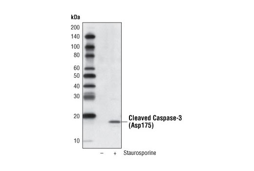 Western blot analysis of extracts from HeLa cells, untreated or treated with Staurosporine #9953 (1 μM, 3 hrs), using Cleaved Caspase-3 (Asp175) (5A1E) Rabbit mAb (Biotinylated) and detected with Streptavidin-HRP #3999.