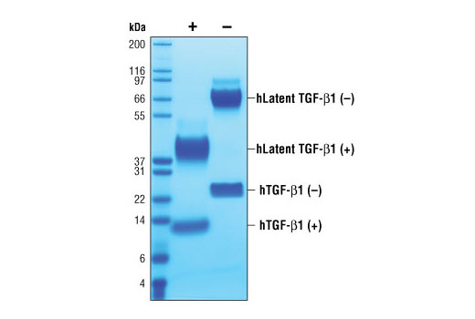 The purity of recombinant hLatent TGF-β1 was determined by SDS-PAGE of 6 µg reduced (+) and non-reduced (-) recombinant hLatent TGF-β1 and staining overnight with Coomassie Blue.