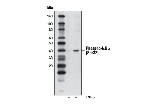 Western blot analysis of extracts from HeLa cells, untreated or treated with human TNF-α (#8902, 20 ng/ml) for 5 minutes, using Phospho-IκBα (Ser32) (14D4) Rabbit mAb (Biotinylated).