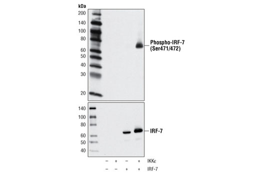 Western blot analysis of extracts from 293T cells, mock transfected or transfected with IKKε and/or IRF-7, using Phospho-IRF-7 (Ser471/472) Antibody (upper) or IRF-7 Antibody #4920 (lower).