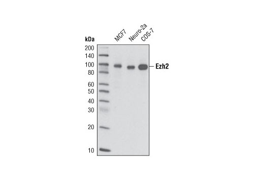 Western blot analysis of extracts from MCF7, Neuro-2a, and COS-7 cell lines using Ezh2 (D2C9) XP<sup>®</sup> Rabbit mAb.