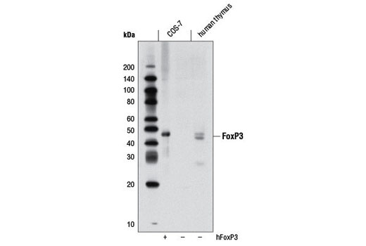 Western blot analysis of extracts from COS-7 cells, mock transfected or transfected with human FoxP3, and human thymus, using FoxP3 (D25D4) Rabbit mAb.