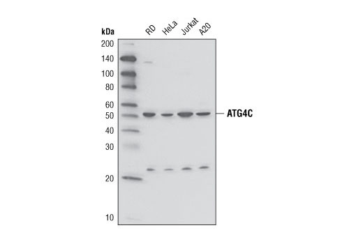 Western blot analysis of extracts from various cell lines using Atg4C Antibody.