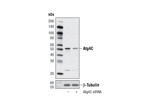 Polyclonal Antibody Protein Delipidation - count 3