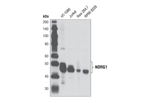 Western blot analysis of extracts from various cell lines using NDRG1 Antibody.