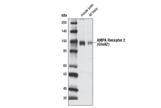 Western blot analysis of extracts from mouse and rat brains using AMPA Receptor 2 (GluA2) (D39F2) Rabbit mAb.