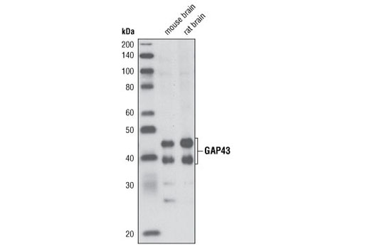 Western blot analysis of extracts from mouse and rat brain using GAP43 Antibody.