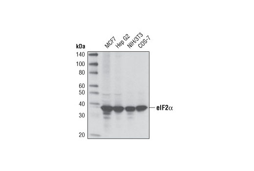 Western blot analysis of extracts from various cell lines using eIF2α (D7D3) XP<sup>®</sup> Rabbit mAb.