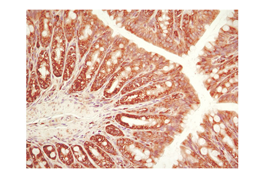 Immunohistochemical analysis of paraffin-embedded mouse colon using eIF2α (D7D3) XP<sup>®</sup> Rabbit mAb.