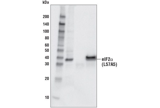 Immunoprecipitation/western blot analysis of lysates from HeLa cells. Lane 1 contains lysate input (10%), lane 2 was immunoprecipitated with non-specific rabbit IgG, lane 3 was immunoprecipitated with eIF2α (D7D3) XP® Rabbit mAb #5324. Western blot analysis was performed using eIF2α (L57A5) Mouse mAb #2103.