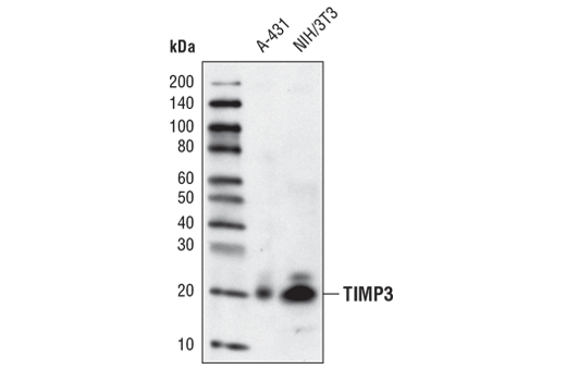 Western blot analysis of extracts from A-431, and NIH/3T3 cells, using TIMP3 (D74B10) Rabbit mAb.