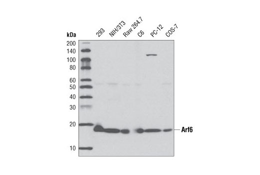 Western blot analysis of extracts from various cell lines, using Arf6 (D12G6) Rabbit mAb.