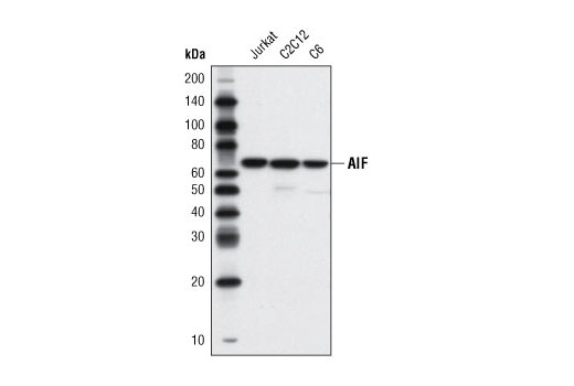 Western blot analysis of extracts from Jurkat, C2C12, and C6 cells using AIF (D39D2) XP<sup>®</sup> Rabbit mAb.